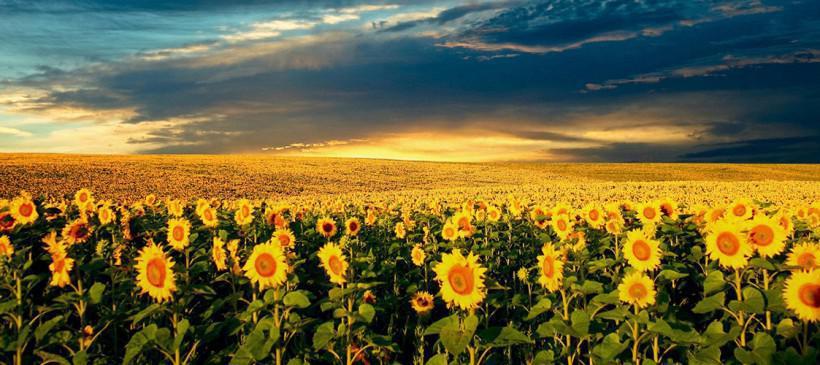 Ηλίανθος: Το βιοκαύσιμο που πατά γκάζι στα κέρδη
